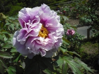 牡丹祭り2016-05-14-177