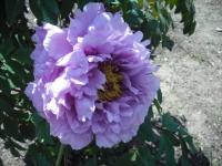 牡丹祭り2016-05-14-195