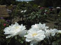 牡丹祭り2016-05-14-210