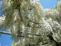 牡丹祭り2016-05-14-225