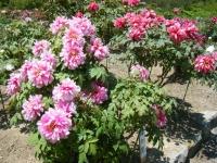牡丹祭り2016-05-14-234