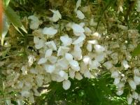 牡丹祭り2016-05-14-239