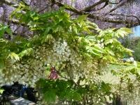 牡丹祭り2016-05-14-238