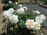 牡丹祭り2016-05-14-246