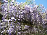 牡丹祭り2016-05-14-241