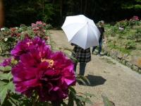 牡丹祭り2016-05-14-254