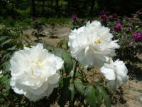 牡丹祭り2016-05-14-253