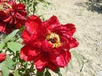 牡丹祭り2016-05-14-260