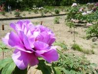 牡丹祭り2016-05-14-261