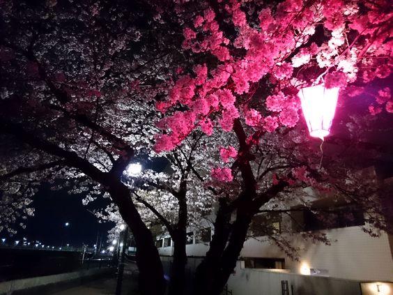 2016yozakuraDSC_1198.jpg