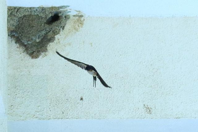 コシアカツバメ (11)