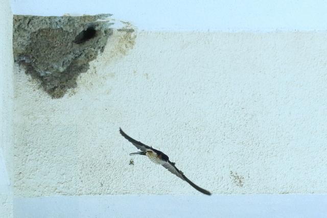 コシアカツバメ (12)