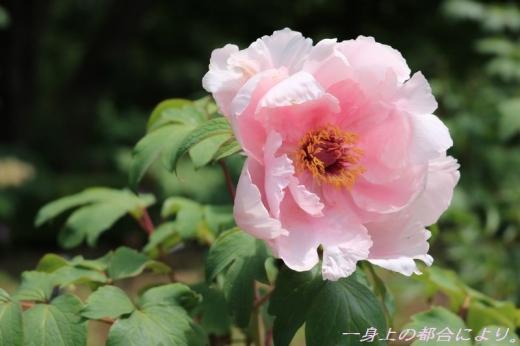 IMG_1421東松山ぼたん園2