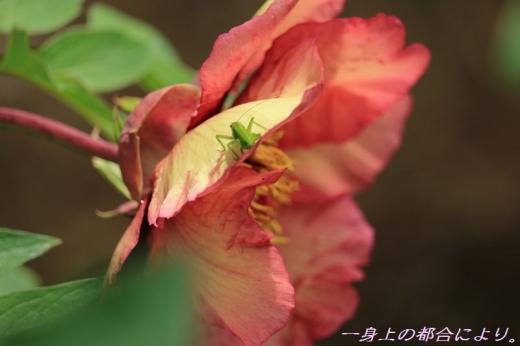 IMG_1429東松山ぼたん園4