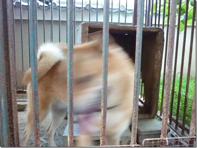 201609やっぱ北海道犬02