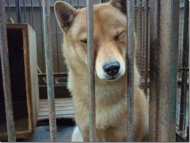 201609やっぱ北海道犬04