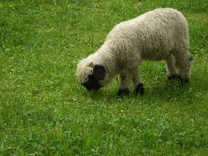 14顔の黒い羊は、スイスでもツェルマット地方だけ。「シュバルツナーゼ」という羊