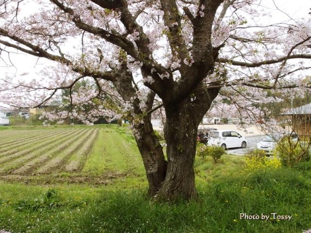 浄土寺そばの桜」