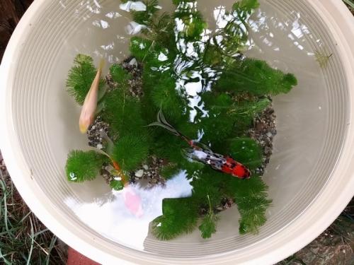 金魚の親鉢