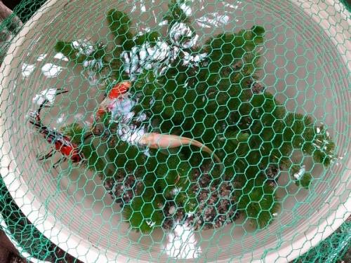 金魚鉢網かけ
