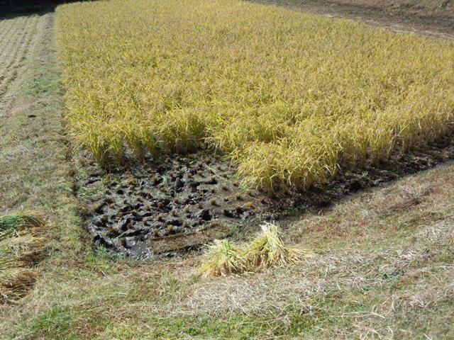 初めての稲刈り1016