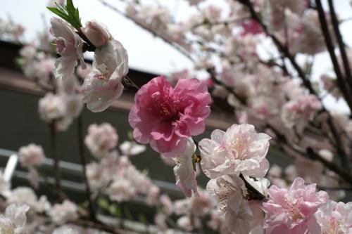 川ばたに桃が咲く