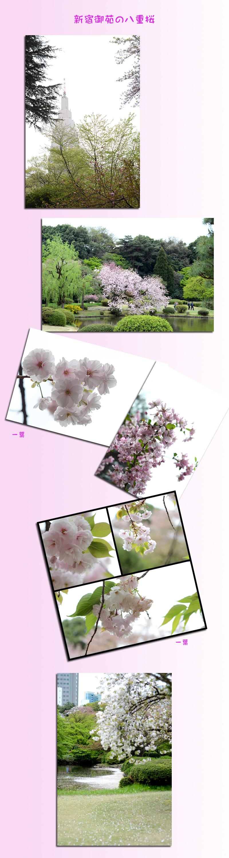 4月11日八重桜1
