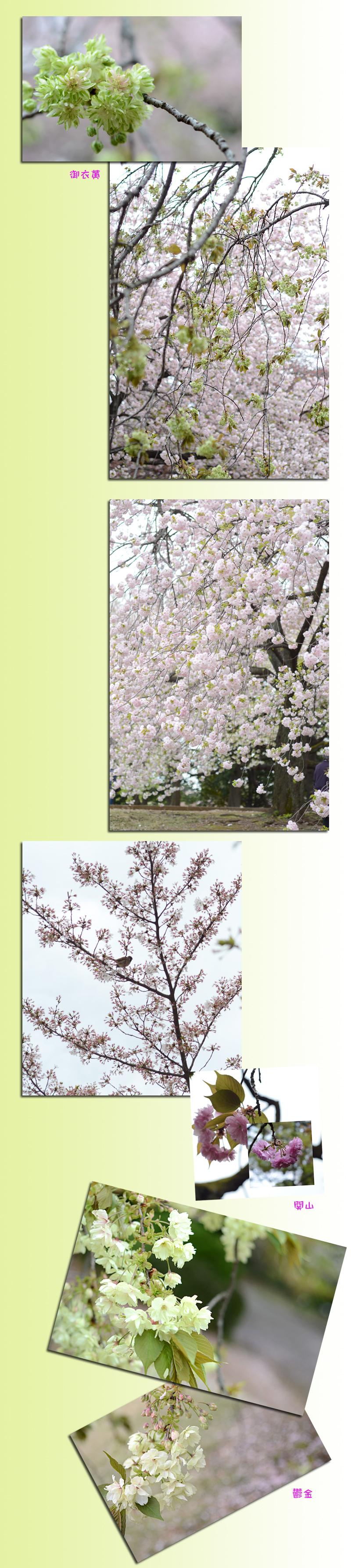 4月11日八重桜2