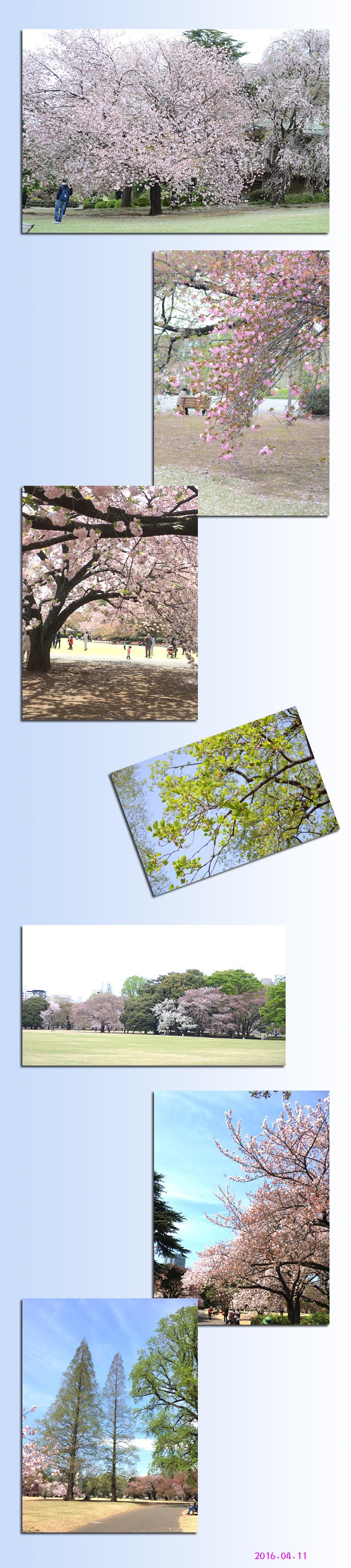 4月11日八重桜3
