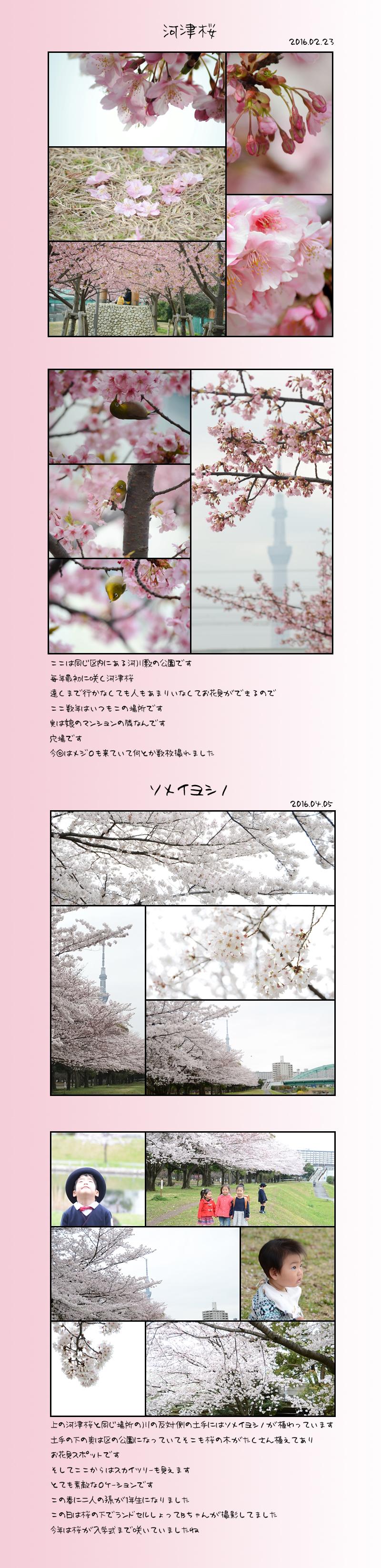 4月25日桜1