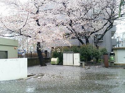 160407chirusakura.jpg