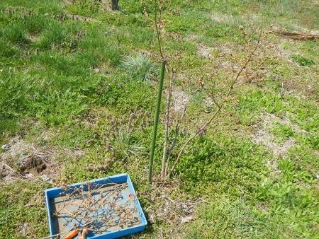 ブルーベリー挿し木 (1)