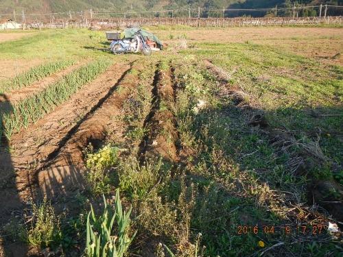 白菜畑の片付け (4)