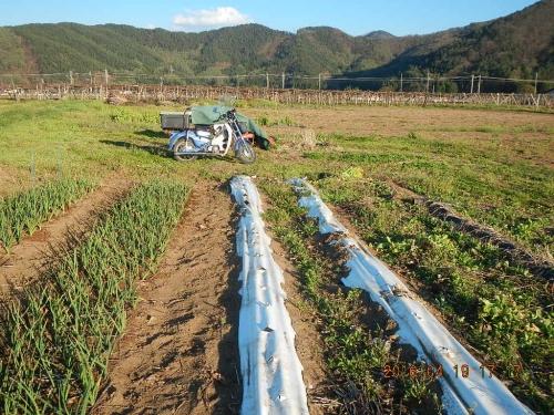 白菜畑の片付け (3)