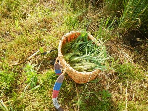 大麦除去作業 (5)
