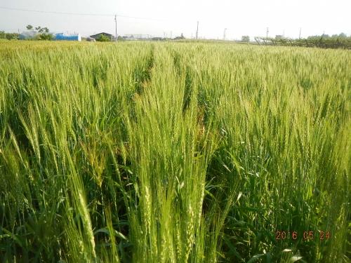 大麦除去作業 (3)