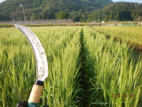 大麦除去作業 (2)