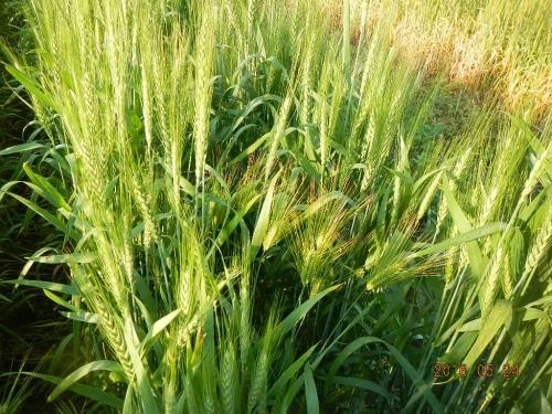 大麦除去作業 (1)