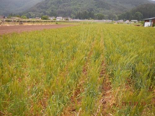 麦畑除草 (3)