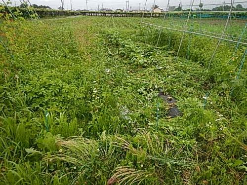 桔梗農場 (2)