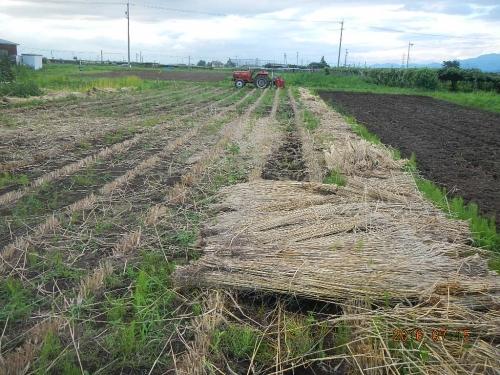 麦畑の耕起 (3)