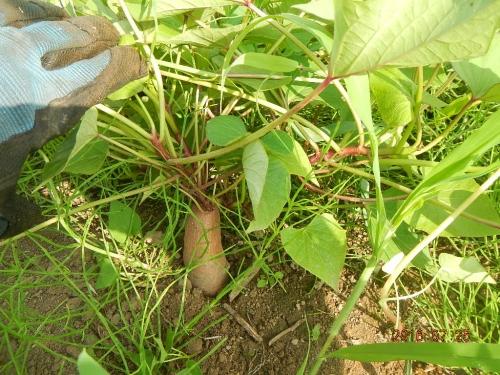 サツマイモ (2)