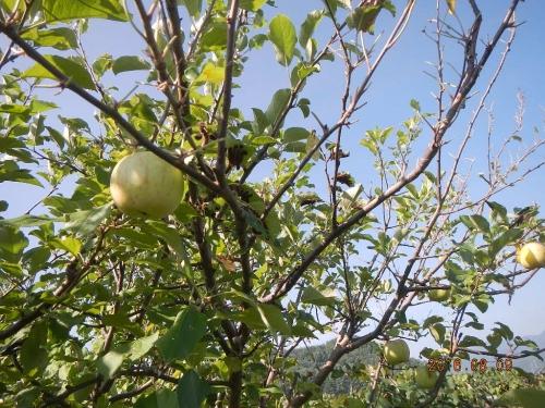 林檎 (3)