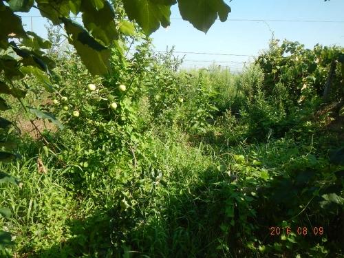 果樹園 (1)