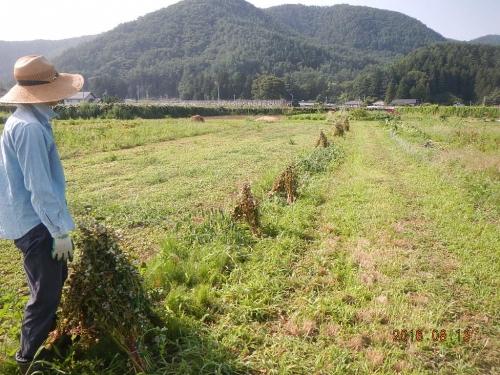 夏蕎麦 (2)