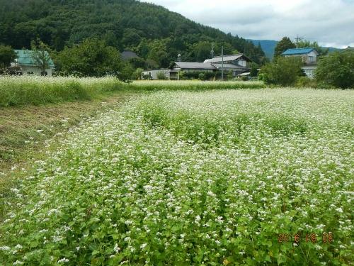 藤森の蕎麦畑 (1)