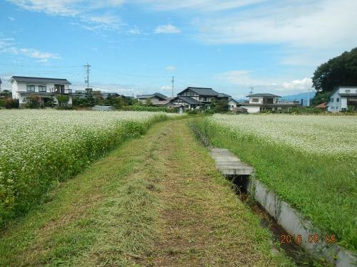 藤森の蕎麦畑 (2)