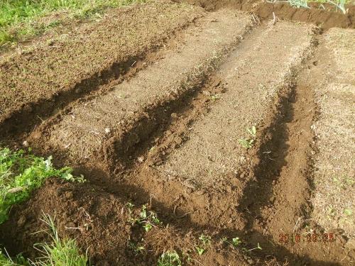 玉ねぎ苗床