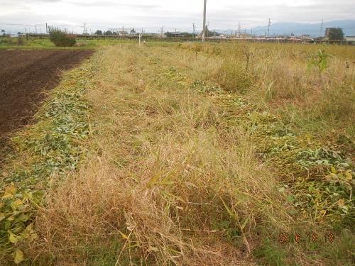 大豆刈り取り (3)