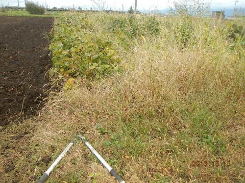 大豆刈り取り (1)